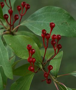 sassafras leaves and fruits